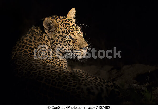 Portrait of leopard lay down in the darkness to rest - csp47407482