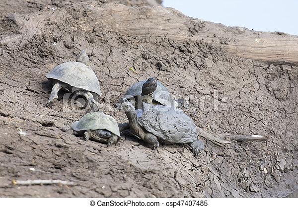 Group of water turtles resting on a dry river bank - csp47407485