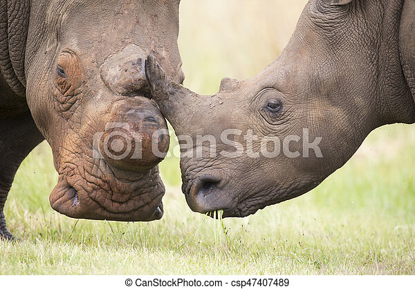 Close-up of a white rhino head with tough wrinkled skin - csp47407489