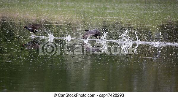 Wild birds fighting - csp47428293