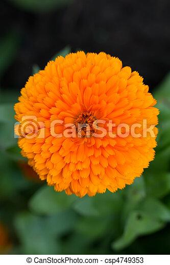 Pot Marigold (lat. Calendula officinalis) - csp4749353