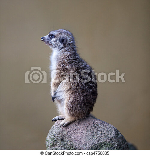 watchful meerkat standing guard  - csp4750035