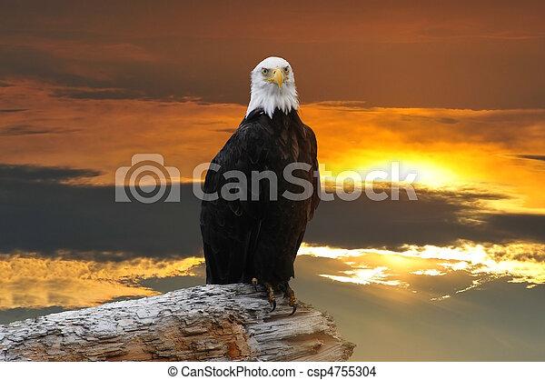 Alaskan, örn, skallig, solnedgång - csp4755304