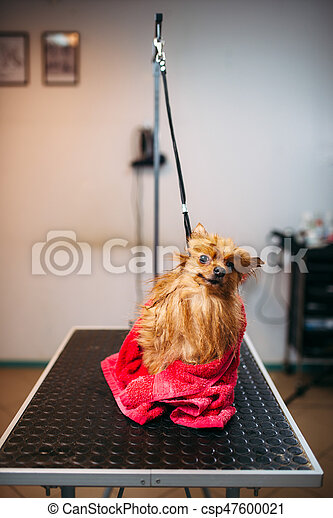 Female pet groomer wipes little dog with a towel, puppy washing in grooming salon. Professional groom and hairstyle for domestic animals