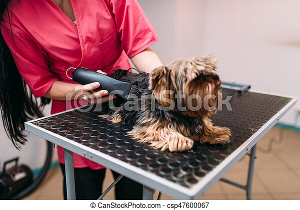 Pet groomer with haircut machine, little dog hairstyle. Professional grooming and cleaning service for domestic animals