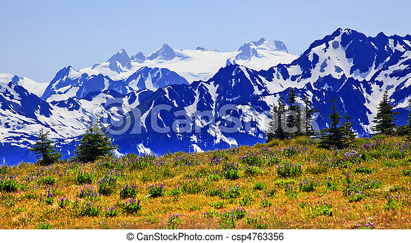 Mount Olympus Purple Lupine Wildflowers Evergreens Snow Mountains Hurricaine Ridge Olympic National Park Washington State Pacific Northwest  - csp4763356