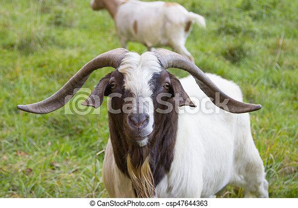 Billy goat - csp47644363
