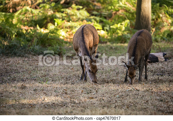 Beautiful Family group herd of red deer stag cervus elaphus during rut season in forest landscape during Autumn Fall - csp47670017