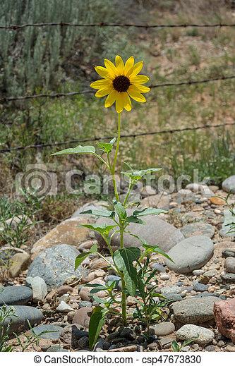 Yellow Desert Flower Against Barbed Wire - csp47673830