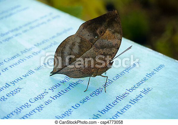 Indian Leaf Butterfly in Captivity. (Kallima inachus) - csp4773058