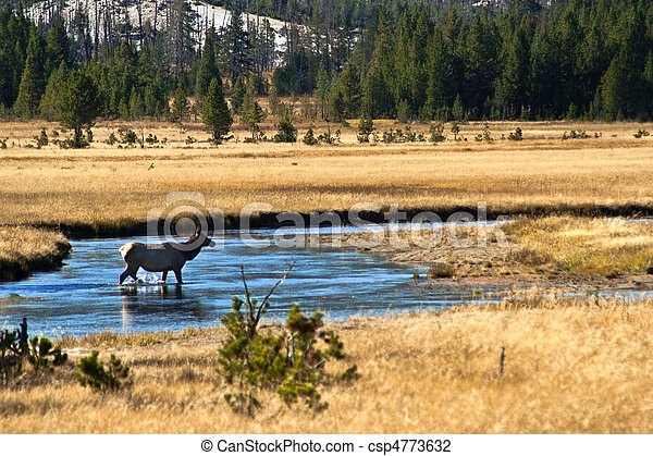 Yellowstone National Park: Wapiti Deer at Hayden Valley - csp4773632