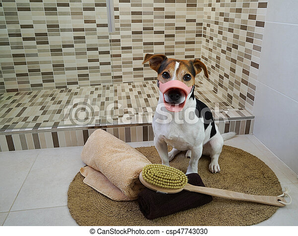 Jack Russell Terrier dog in a muzzle, sitting on a rug in the bathroom and ready for spa and wellness treatment