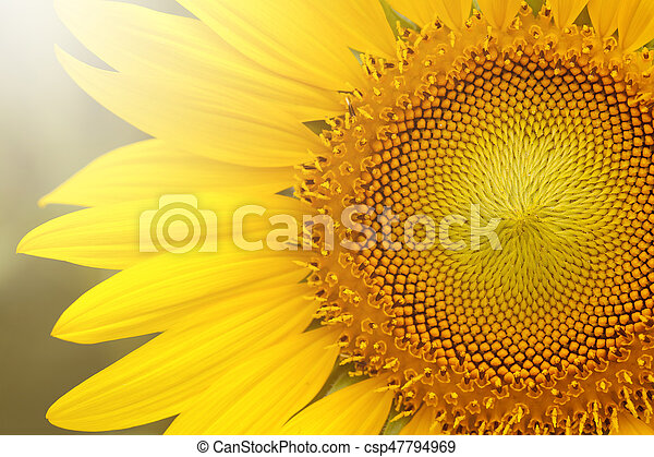 Close up of sunflower on plant - csp47794969