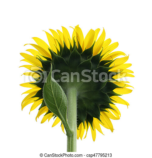 Yellow sunflower isolated on white - csp47795213