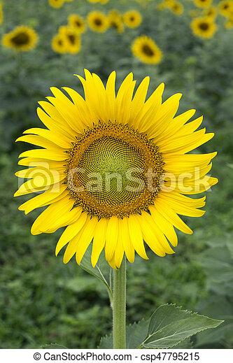 Yellow sunflower on plant - csp47795215