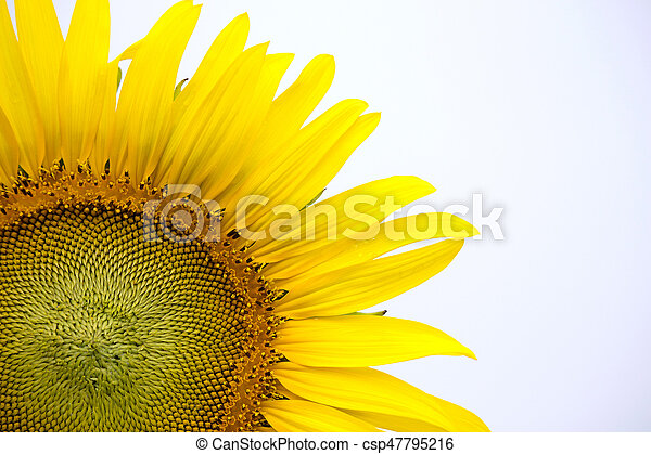 Yellow sunflower on plant - csp47795216