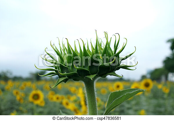 Close Up Image of Green Sunflower Bud - csp47836581