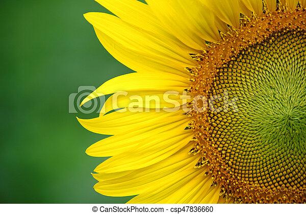 Yellow sunflower on plant - csp47836660