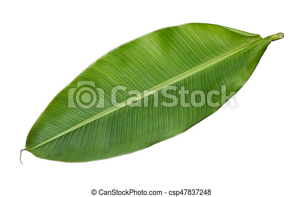 Fresh whole banana leaf isolated on white background - csp47837248