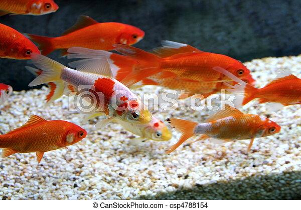 Stock photo of big colorful koi carp in a aquarium for Carpe koi en aquarium
