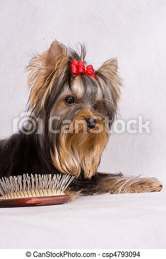 Yorkshire terrier - csp4793094