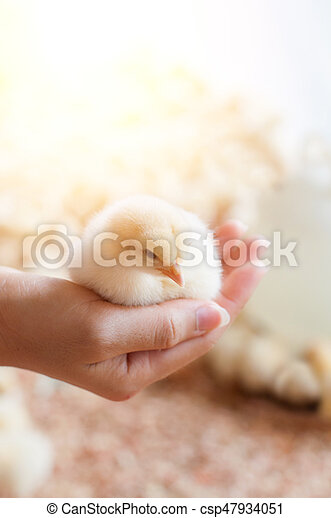 Hand hold caring for a small chicken