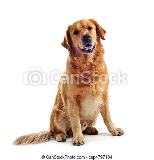 golden retriever - csp4797184