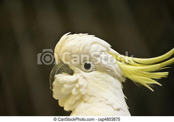 Beautiful portrait of citron crested cockatoo - csp4803875