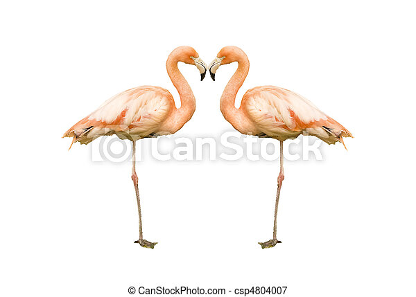 Beautiful portrait of pink flamingo in captivity allowing for excellent close up - csp4804007