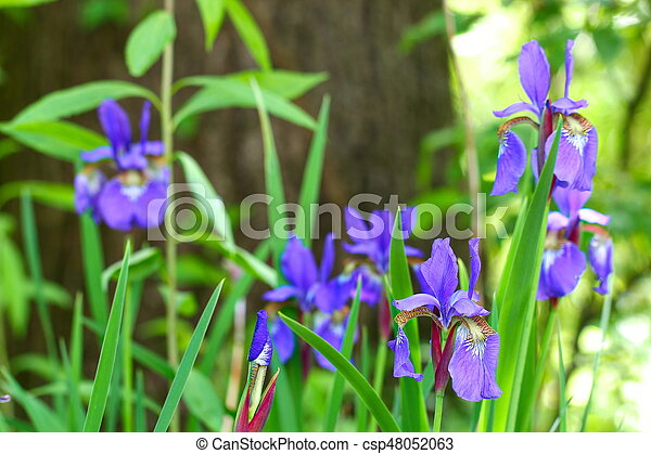 Purple Iris flowers on a green background, selective focus. - csp48052063