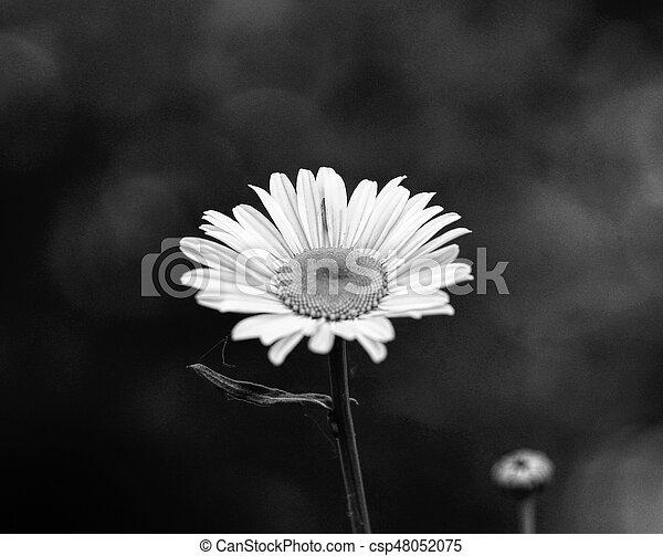Daisy flowers in the summer season, selective focus - csp48052075