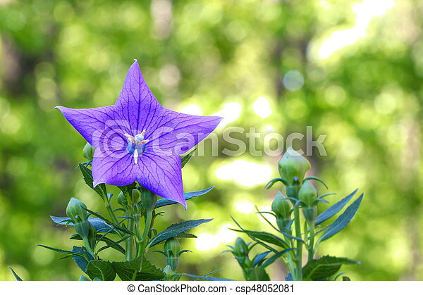 A close up of a beautiful blue Balloon flower or Platycodon grandiflorus - csp48052081