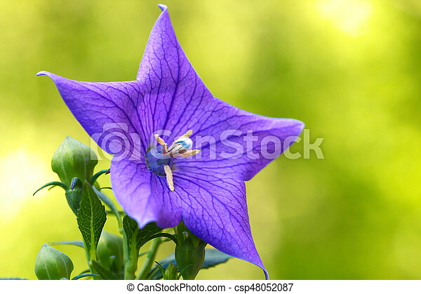 A close up of a beautiful blue Balloon flower or Platycodon grandiflorus - csp48052087