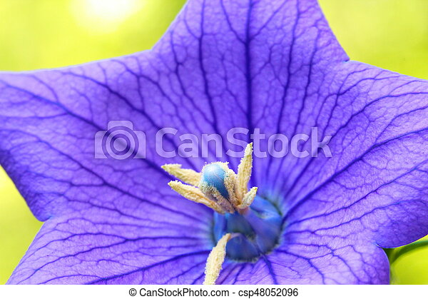 A close up of a beautiful blue Balloon flower or Platycodon grandiflorus - csp48052096