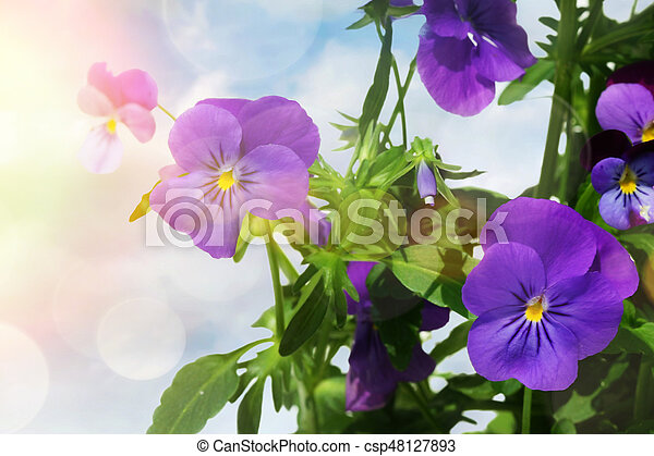 Blue colored pansy flowers against a light background - csp48127893