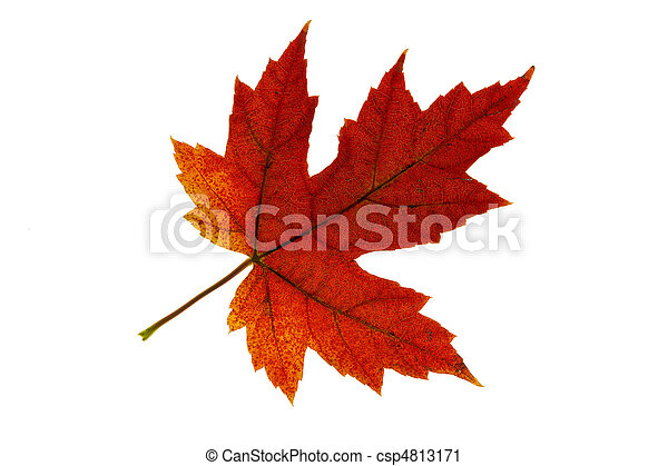Single Maple Leaf Changing Fall Color 2 - csp4813171