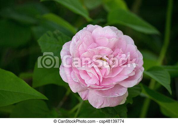 full-blown pink rose - csp48139774
