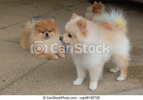 happy pomeranian dog cute pet friendly in home