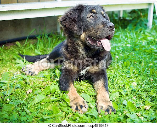 Tibetan Mastiff Puppy - csp4819647