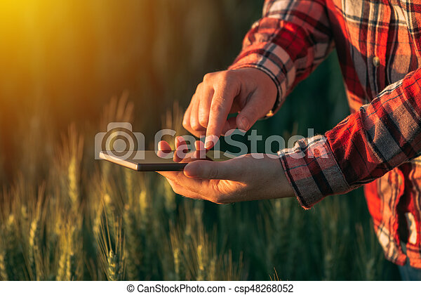 Agronomist using smart phone mobile app to analyze crop development, female hands with mobile phone in cultivated wheat field