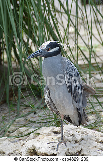 Yellow crowned night heron on a white sand beach.