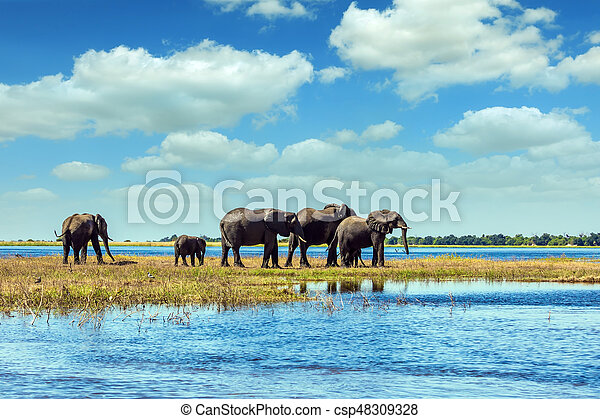 Watering in the Okavango Delta. African elephants crossing river in shallow water. The concept of active and exotic tourism