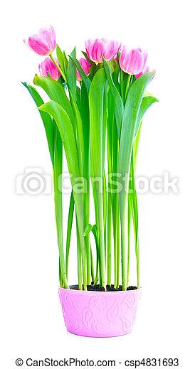 tulip flowers - csp4831693