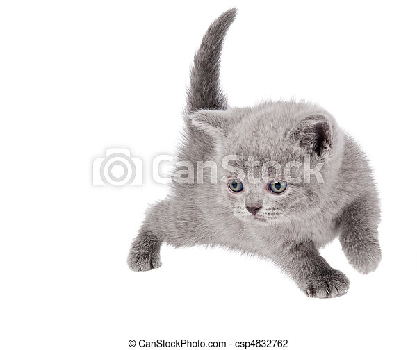 One little british kitten cat - csp4832762