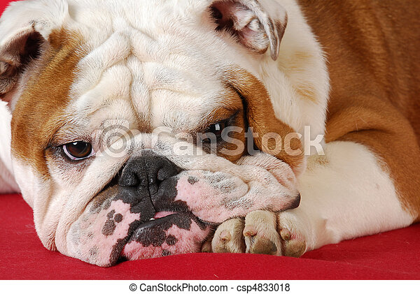 english bulldog - csp4833018