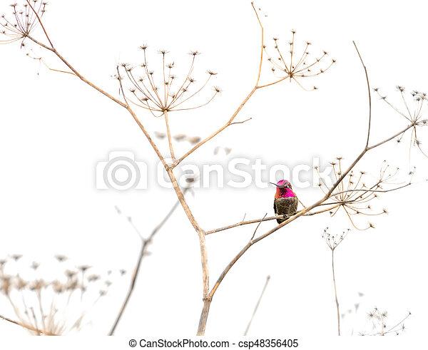 Hummingbird on a Dry Plant - csp48356405