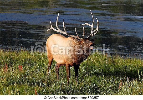 Majestic Bull Elk Bugling - csp4839857