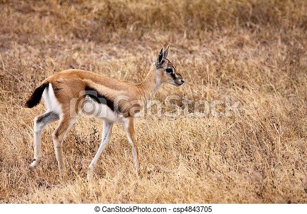 Stock im genes de thomsons gazelle juvenile a for Gazelle cuisine hors serie