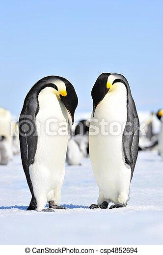 皇帝, ペンギン - csp4852694 - 皇帝, ペンギン皇帝, ペンギン, 雪, 丘,