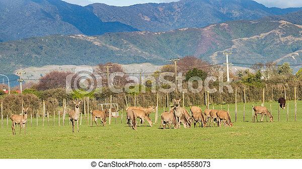 New Zealand Brown Deer - csp48558073